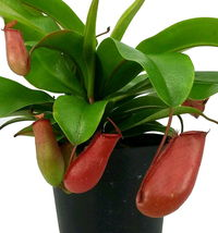 """Lady Luck Red Asian Pitcher Plant - Nepenthes - Carnivorous - 4"""" Pot - $50.99"""