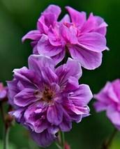 50 Double Purple Geranium Seeds Hanging Basket Perennial Flowers - TTS - $29.95