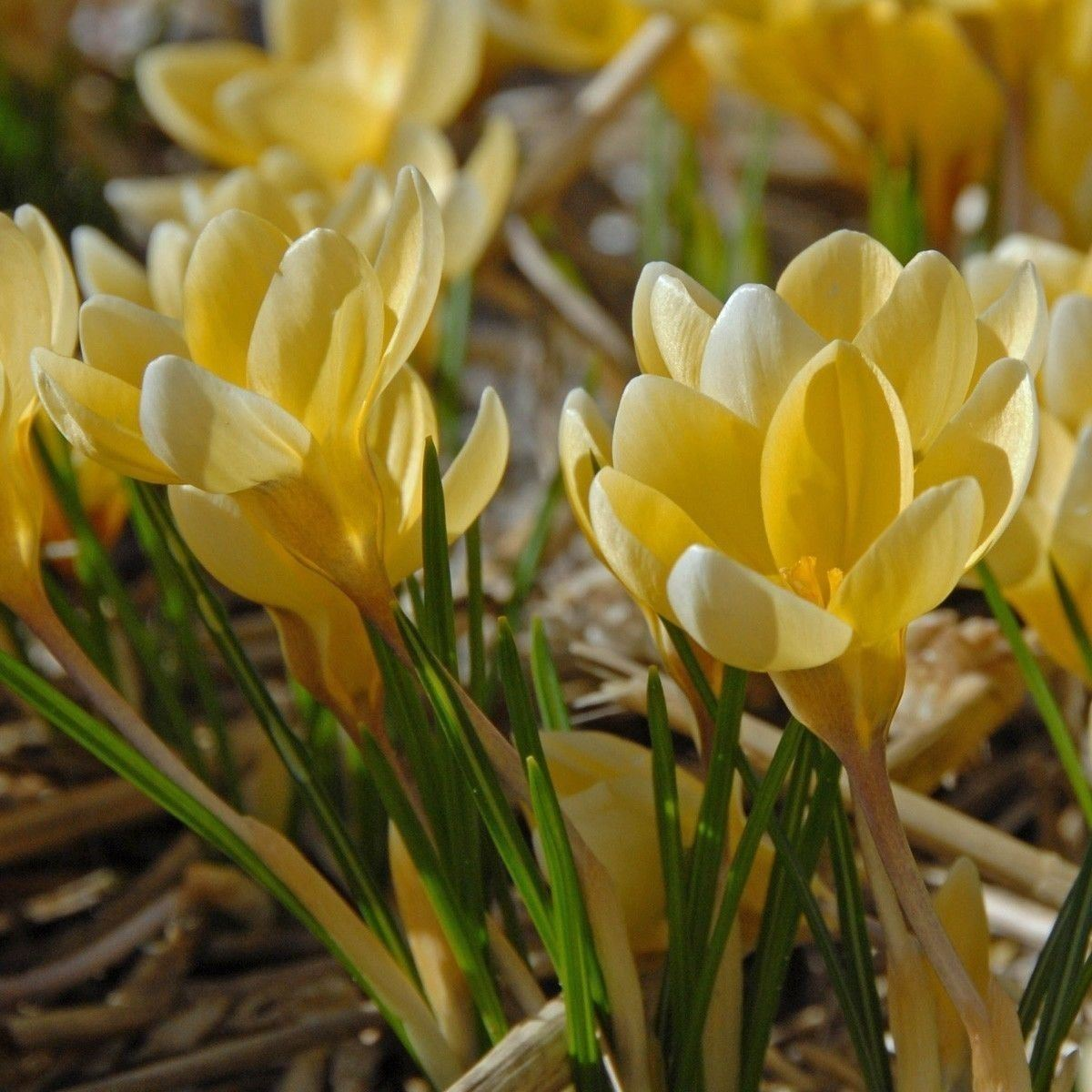 SHIPPED From US_Crocus Bulbs, Bulb Size: Top Size 9/10 cm 100 Seed-WB