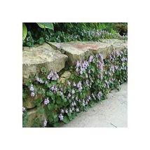 Outdoor Ivy Graden Decor - 4000 Seeds - Live Plant Best Gift NEW - $18.50