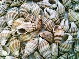 Conch Sea Shell Craft Specimen Jewelry  - $12.01