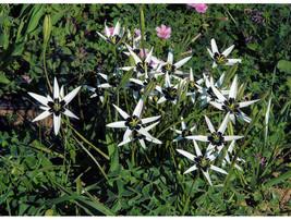 Rare Spiloxene Capensis Flower Seeds South Africa Flowers, 3 pcs Seeds - £10.72 GBP
