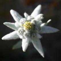 50 EDELWEISS Leontopodium Alpinum Flower Seeds + Gift & Comb S/H - $14.00