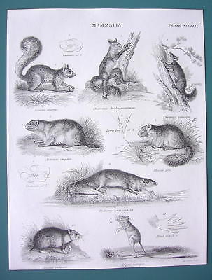Primary image for MAMMALS Squirrel Lemur Hamster Jerboa Rat Dormouse - 1840 Fine Quality Print