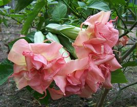 1 double pink unrooted cutting of brugmansia monika (double flower) - jm - £26.26 GBP