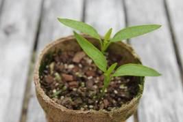Live Plant- Aji Dulce 1 Pepper, (1 plant) Known As Aji Cito, Aji Gustoso - $30.53