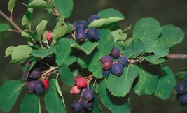Fruit Allegheny serviceberry blueberry flavored tree LIVE PLANT Edible b... - $33.99