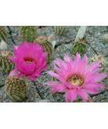 10 Pcs Seeds Hedgehog Cactus Echinocereus Reichenbachii Perbellus Flower - DL - $16.00
