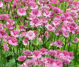 Astrantia Masterwort Purple Astrantia Major - 100 Bulk Seeds - $35.99