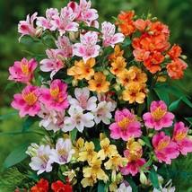 100/bag Peruvian Lily Seeds Peruvian Lily Mix (Alstroemeria) FLOWER SEEDS - $4.76