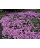 100k Seeds Creeping Thyme Seeds, Heirloom, Non-GMO - $26.73