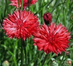 Bachelor Button, Tall Red Seed, Organic, 500 seeds, Beautiful Bright Blo... - $8.99