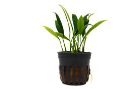 1 Live Plant - Aquatic 'Anubias Congensis Mini'  Potted #HPS13 - $34.99