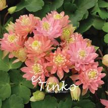 100pcs Pink Yellow Aquilegia Seeds Columbine 'Clementine Salmon Rose' Flower See - $5.09