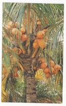 Florida Coconuts Tropical Palm Tree Vintage Capicotto Postcard - $5.52