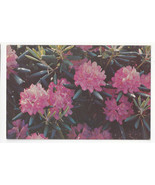 NC North Carolina Flowers Catawba Rhododendrons Vtg Chrome Postcard - $5.52