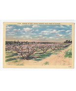 North Carolina Peach Trees Asheville Postcard Co 1950 Linen - $5.52