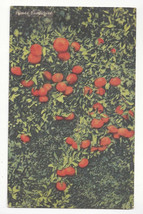 FL Florida Tangerines Vtg 1949 Tichnor Linen Postcard - $6.49