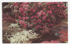 Kennett Square PA Longwood Gardens Rhododendrons Azaleas Vintage Postcard - $5.52