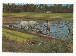 Bali Farmer Water Buffalo Rice Paddy Vtg Indonesia Postcard 4X6 - $7.75