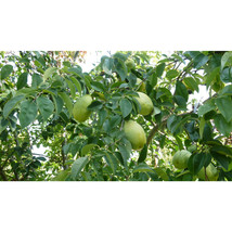 1 Plant in 1 Gallon Trade Pot - Paw Paw - Established Rooted - Outdoor Living - $88.00