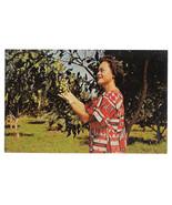 HI Keaau Orchard Royal Hawaiian Macadamia Nuts Vtg Postcard Island of Ha... - $7.59