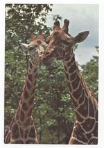 Great Adventure Jackson NJ Safari Park Giraffes 1974 Vintage Postcard 4x6 - $9.30