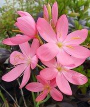 5 Starter Plants of Schizostylis Coccinea Pallida - $138.60