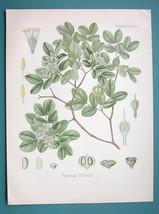 GUAJACUM TREE Medicinal Guajacum Officinale - Beautiful COLOR Botanical ... - $33.75