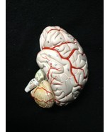 Denoyer Geppert Life Size Half Brain with Arteries Anatomical Model 4 Piece - $119.97