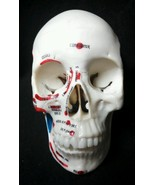Medical Plastics Laboratory - Painted Skull with Brain Anatomical Model,... - $116.25