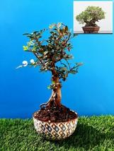 Bonsai Pistacia lentiscus Exotic plant Mastic Tree Very old plant - $81.60