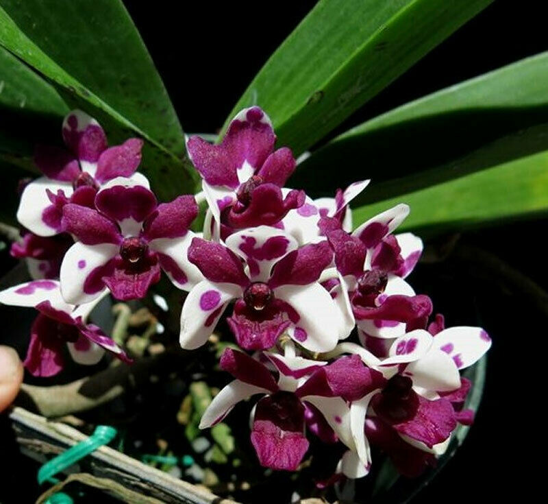 Rhynchostylis gigantea (Cartoon x Red) Species Orchid Plant Blooming Size Zd