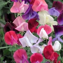 SWEET PEAS (ROYAL FAMILY MIX color) flower seeds 42 seeds - $14.65