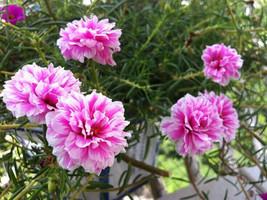 200 Seeds Moss Rose Pink Portulaca - $12.98
