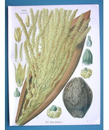COCONUT PALM Flower Medicinal Cocos Nucifera - Beautiful COLOR Botanical... - $28.69