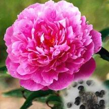 20pcs Beautiful Rare Double Peony Seed Multicolor Flower Peony Suffrutic... - $15.99