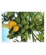 Hawaii Papaya Tropical Fruit Tree Vintage Postcard Glossy 4X6 - $4.74