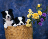Border Collie Puppies Checkbook Cover