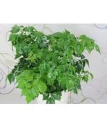 LIVE China Doll plant aka Radermachera sinica Plant Fit 6'' Pot - $10.99