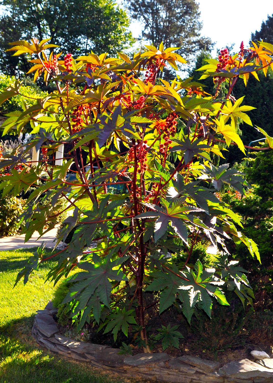 Red Leaf Castor Bean, Palmcrist, Palma Christi 20+ Seeds - Ricinus carmencita Re