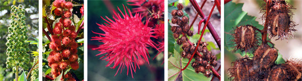 Red Leaf Castor Bean, Palmcrist, Palma Christi 100 Seeds - Ricinus carmencita