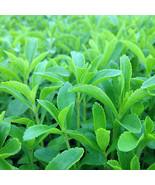 200PC Stevia Rebaudiana Seeds Natural Sweetener Garden Plant Seeds High ... - $1.99