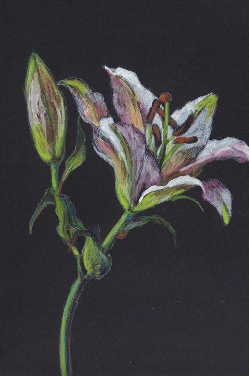 "Akimova: LILY, colored pencils, flower, garden, spring,  5.5""x8.5"""