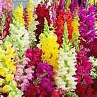 Snapdragon giant tetra mix 100 flower seeds
