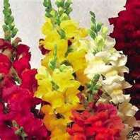 100 Heirloom Snapdragon Giant Tetra Mix Seeds