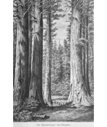 CALIFORNIA Giant Trees of Mariposa - 1883 German Print - $21.60