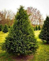 1 Starter Plant Of Murray Cypress - Pot - $35.44