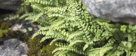 Maidenhair SPLEENWORT fern 10 rhizome-(asplenium platyneuron) image 5