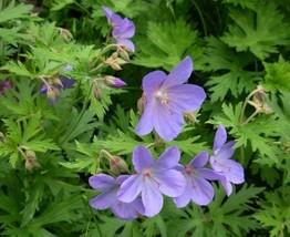 3 Starter Plant ~ Cranesbill Geranium Lavender Flower - $25.99